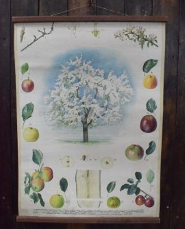 Vintage Botanical Chart - Apple Tree