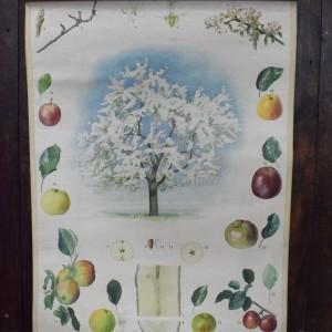 Vintage Botanical Chart - Apple Tree
