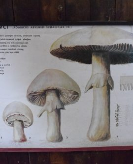 Vintage Botanical Chart - Mushrooms/Fungi Chart