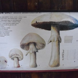 Vintage Botanical Chart - Mushrooms/Fungi Chart
