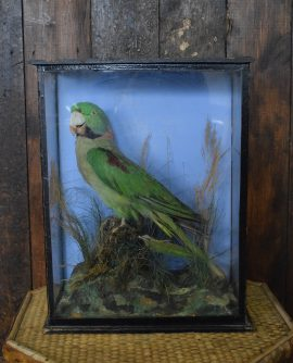 Vintage Taxidermy  - Stuffed Parrot in Glass Case