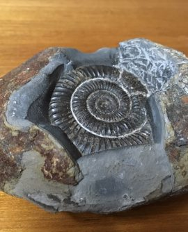 ammonite Fossil in rock