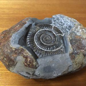 ammonite Fossil in rock