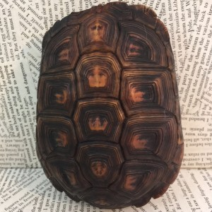 Small Antique Tortoise Shell - Taxidermy Item